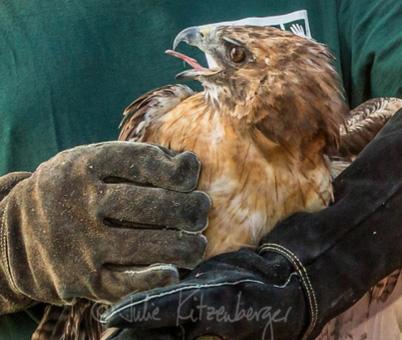 hawk-rescue02
