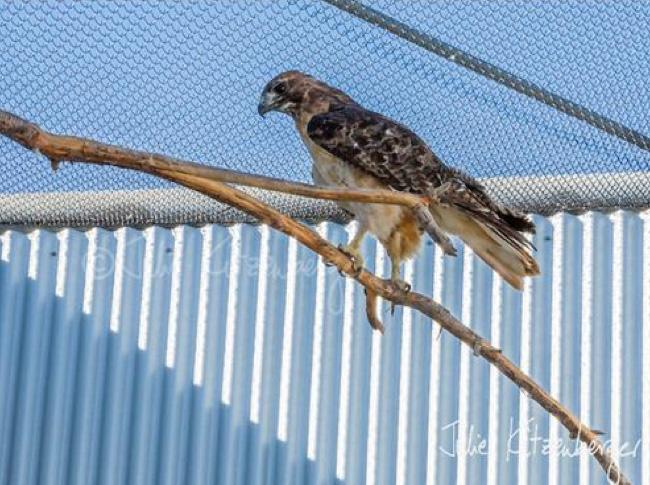 hawk-rescue11