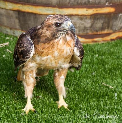 hawk-rescue13