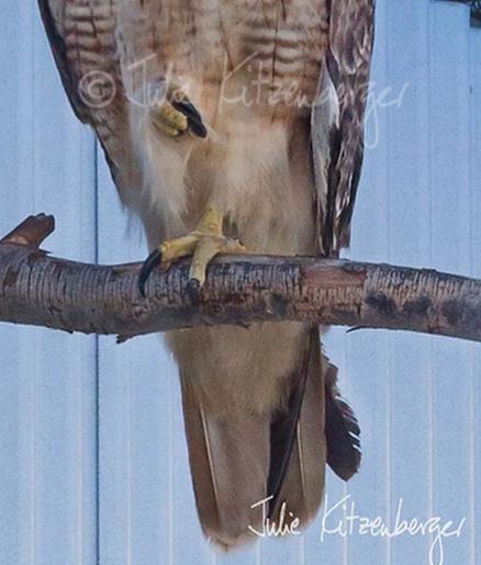 hawk-rescue12