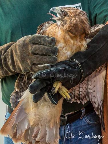 hawk-rescue15